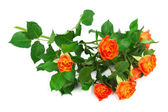Branch of roses — Stock Photo