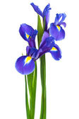 Två iris — Stockfoto
