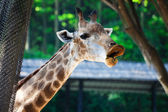Smiling giraffe — Stockfoto