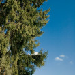 Stock Photo: Fir at blue sky