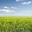 Foto Stock: Summer Colorful Wheat Field