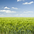 Стоковое фото: Summer Colorful Wheat Field