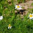 Stock Photo: Camomiles