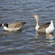 Two goose — Stock Photo