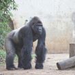 Gorilla — Stock Photo #10228724