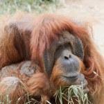 Orangutang — Stock Photo #10564376