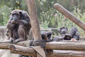 Chimpanzee — Stockfoto