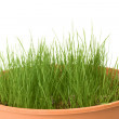 Stock Photo: Grass in pot