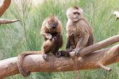 Maymunlar — Stok fotoğraf