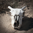 Stock Photo: Goats skull