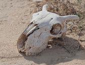Goats skull — Stock Photo