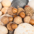 Acorns — Stock Photo #8870965