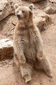 Syrian bear — Stock Photo