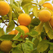 Oranges on a tree — Stock fotografie