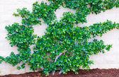 Arbusto verde — Fotografia Stock