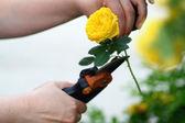 Women Cut Roses In Garden — Stock Photo