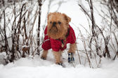 Dog on a winter walk — Stock Photo