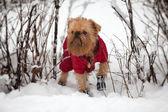 Dog on a winter walk — Stock Photo