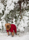 Dog in in winter walk — Stock Photo