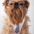 Serious dog in glasses - Stock Photo