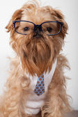 Serious dog in glasses — Stock Photo