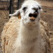 White lama — Stock Photo