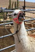 White lama — Stock Photo