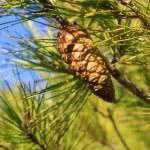 Pine cone — Stock Photo #8131208