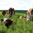 Cows on the field — Stock Photo