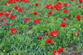 Red anemones — Stock Photo