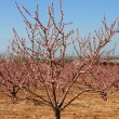 Almond trees — Stock Photo #9028709
