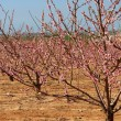 Almond trees — Stock Photo #9028810