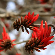 Erythrina or Coral tree — Stock Photo