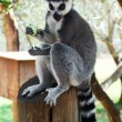 Striped lemur - Photo