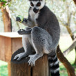 Striped lemur — Stock Photo