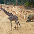 Постер, плакат: Giraffe and rhino