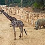 ������, ������: Giraffe and rhino