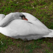 Stock Photo: White goose