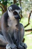 Lemur listrado — Foto Stock