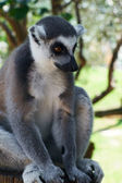 Gestreepte lemur — Stockfoto