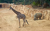 Giraffe and rhino — Stock Photo