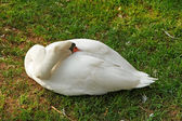 White goose — Stock Photo