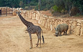 Giraffe and rhinoceros — Stock Photo