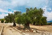Olivos centenarios — Foto de Stock