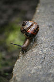 Snail on wet stone. — Stock Photo