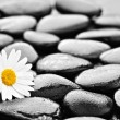 Stones and daisy — Stock Photo