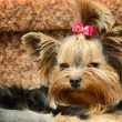Foto Stock: Small dog