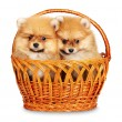 Stock Photo: Spitz dog