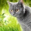 Scottish Kitty — Stockfoto