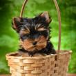 yorkshire terrier — Foto Stock #9689463